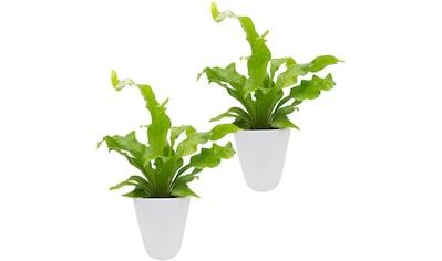Dominik Zimmerpflanze »Farnpflanzen«, Höhe: 15 cm, 2 Pflanzen in Dekotöpfen kaufen