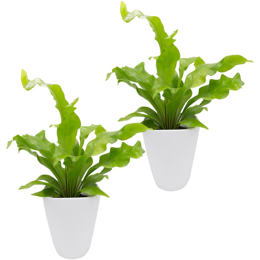Dominik Zimmerpflanze »Farnpflanzen«, Höhe: 15 cm, 2 Pflanzen in Dekotöpfen