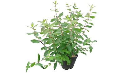 BCM Obstpflanze »Lonicera kamtschatica 'Bienenzauber'«, 1 Pflanze kaufen