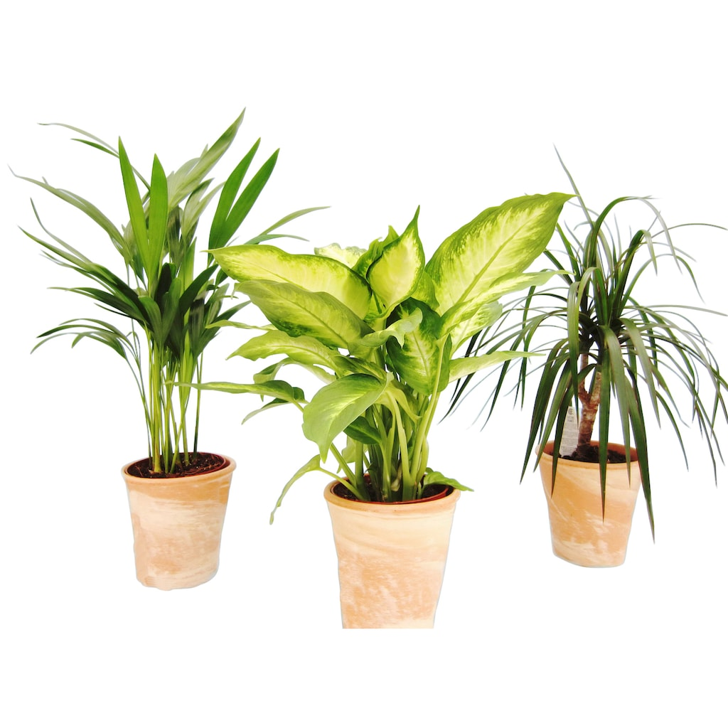 Dominik Zimmerpflanze »Grünpflanzen-Set«, Höhe: 30 cm, 3 Pflanzen in Dekotöpfen