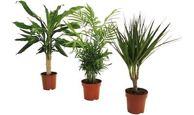 Dominik Zimmerpflanze »Palmen-Set«, Höhe: 30 cm, 3 Pflanzen kaufen