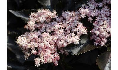 BCM Obstpflanze »Säulenobst Holunder«, dunkelrot, 40 cm Lieferhöhe kaufen