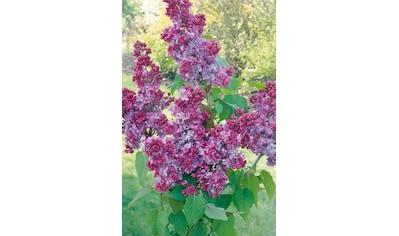BCM Staude »Flieder Prince Wolkonsky«, Höhe: 60 cm, 1 Pflanze kaufen