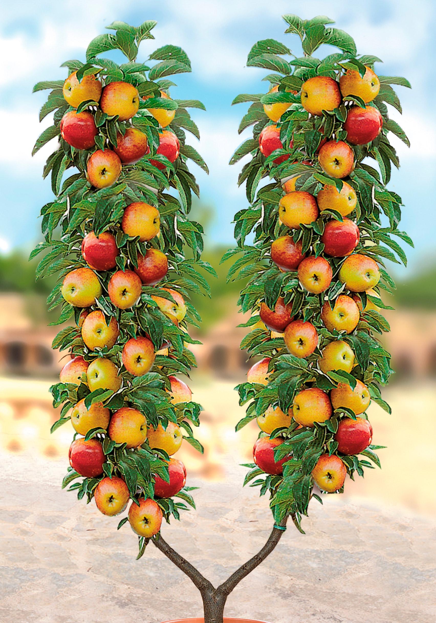 BCM Apfelbaum weiß Pflanzen Garten Balkon