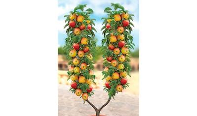 BCM Apfelbaum kaufen
