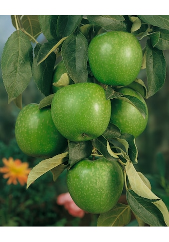BCM Obstpflanze »Granny Smith Apfel«, 100 cm Lieferhöhe kaufen
