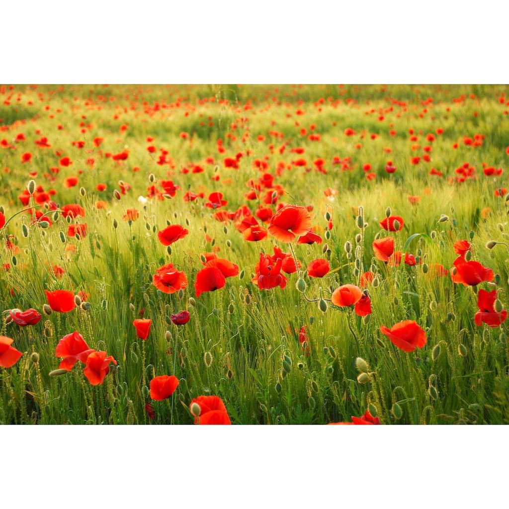 Papermoon Fototapete »Field of Poppies«