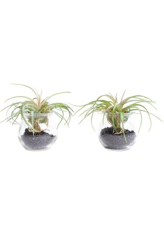 Botanic-Haus Künstliche Zimmerpflanze »Tillandsie m Glas« kaufen