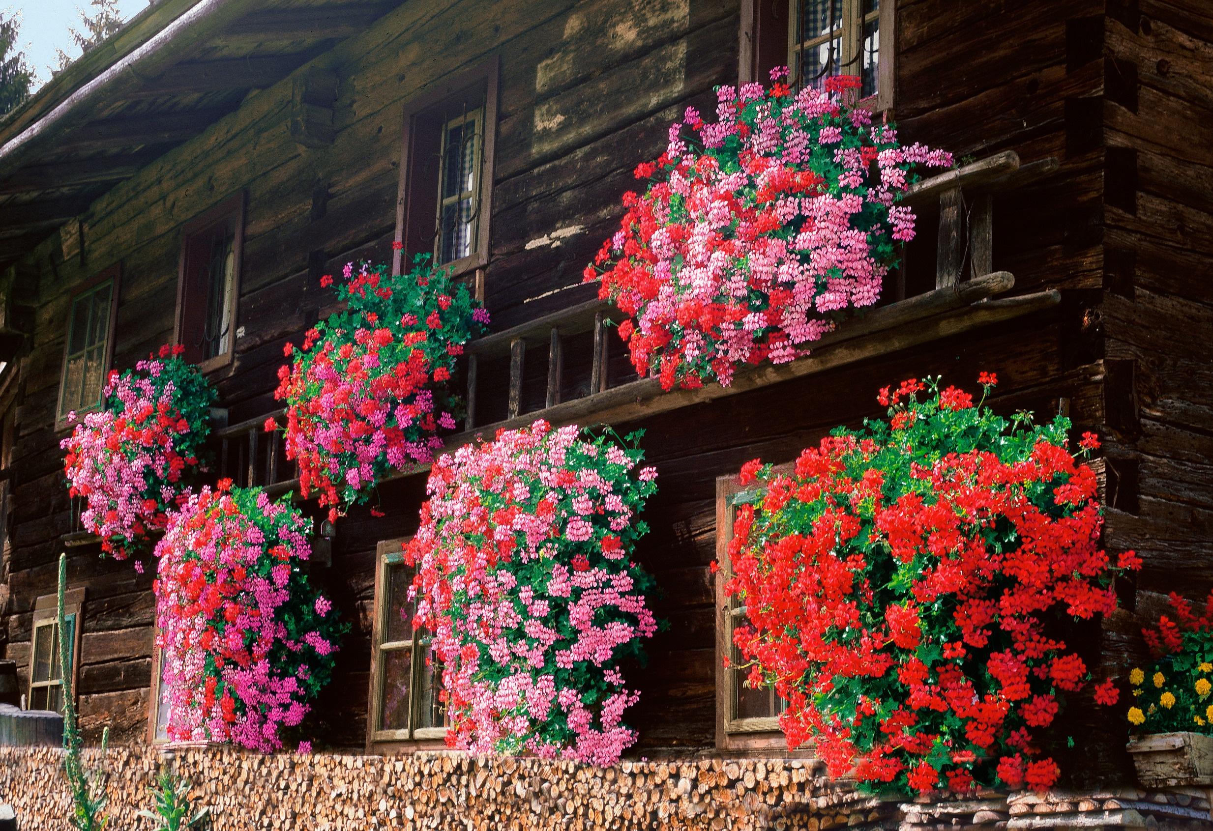 BCM Balkonpflanze Geranie hängend weiß Balkonpflanzen Pflanzen Garten Balkon