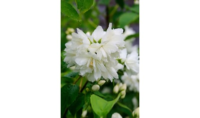 BCM Hecken »Duft Jasmin Minnesota Snowflace«, Höhe: 30-40 cm, 10 Pflanzen kaufen
