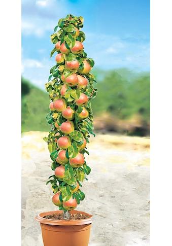 BCM Obstpflanze »Säulenobst Birne Decora« kaufen