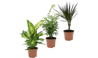Dominik Zimmerpflanze »Grünpflanzen-Set«, Höhe: 30 cm, 3 Pflanzen kaufen