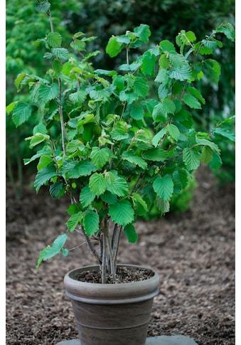 BCM Haselnuss »Webbs Preisnuss«, Höhe: 60 - 80 cm, 1 Pflanze kaufen