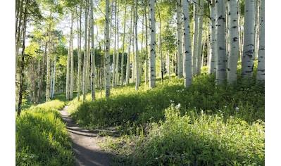 PAPERMOON Fototapete »Birch Hiking Trail«, Vlies, in verschiedenen Größen kaufen
