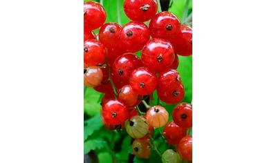 BCM Obstpflanze »Säulenobst Rote Johannisbeere Red Lake«, Höhe: 50 cm, 2 Pflanzen kaufen