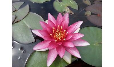 BCM Wasserpflanze »Seerose Attraction« kaufen