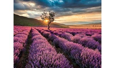 living walls Fototapete »Lavendelfeld Lavendelblüte«, Vlies kaufen