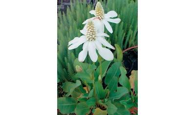 BCM Wasserpflanze »Eidechsenschwanz« kaufen