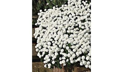 Staudengewächs »Schleifenblume« (3 Stk.) kaufen