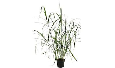 BCM Gräser »Chinaschilf x gigantheus«, (Spar-Set), Lieferhöhe ca. 60 cm, 2 Pflanzen kaufen