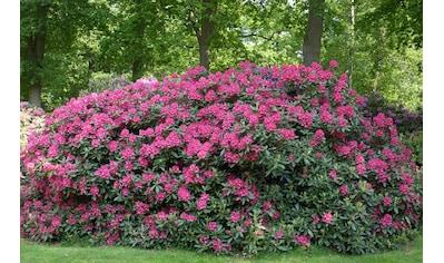BCM Gehölze »Rhododendron Catawbiense Grandiflorum«, Höhe: 30 cm, 1 Pflanze kaufen