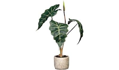 Creativ green Künstliche Zimmerpflanze »Alocasia«, im Zementtopf kaufen