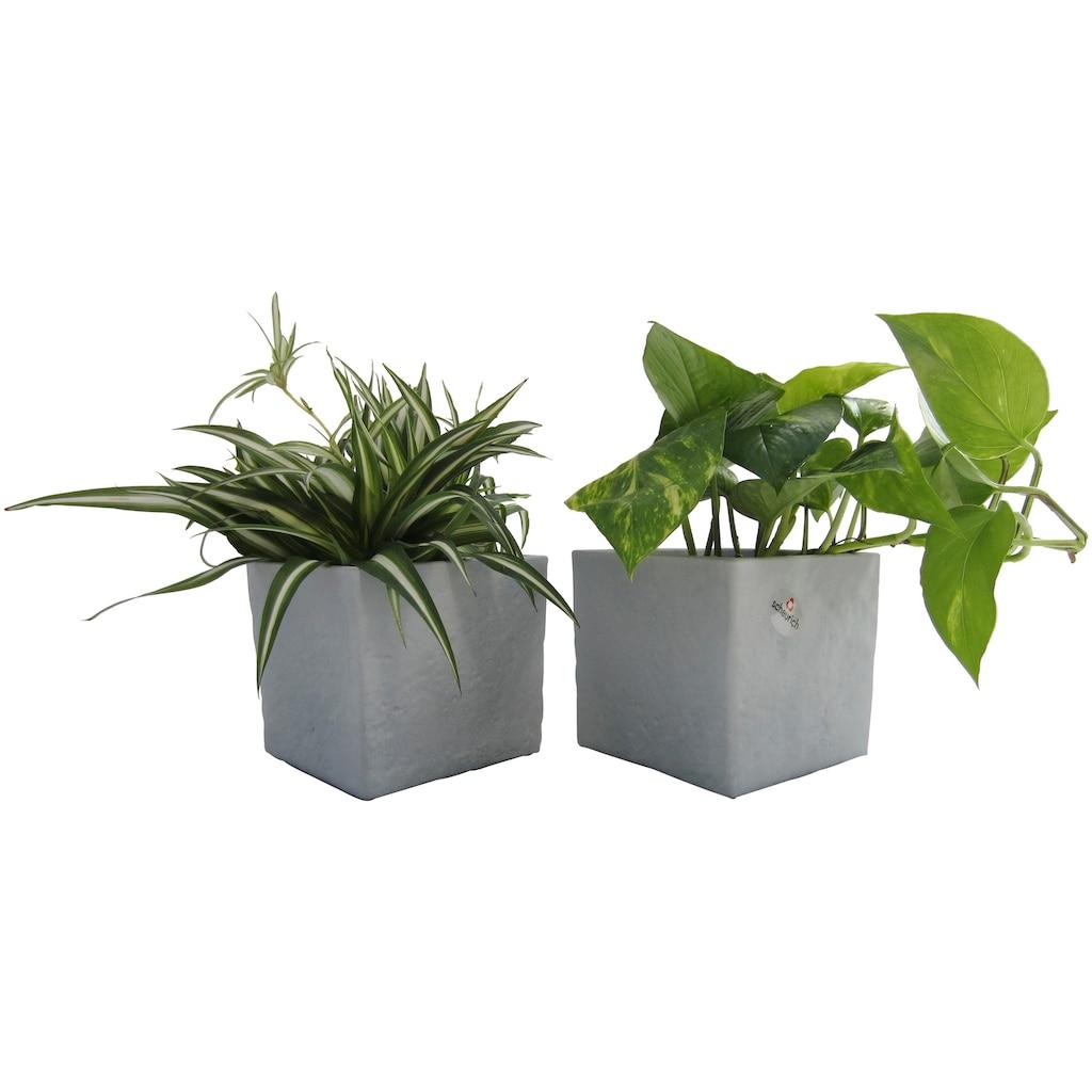 Dominik Zimmerpflanze »Grünpflanzen-Set«, Höhe: 15 cm, 2 Pflanzen in Dekotöpfen