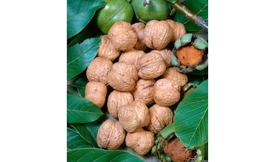 BCM Walnussbaum kaufen