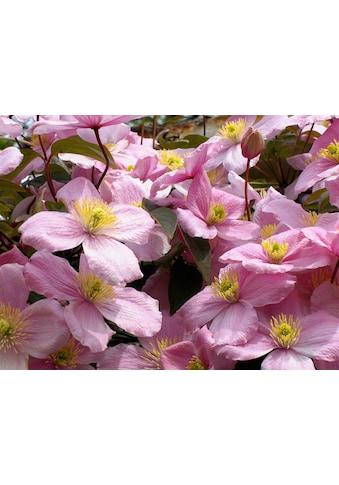 BCM Kletterpflanze »Waldrebe montana 'Tetra Rose'«, Lieferhöhe: ca. 60 cm, 1 Pflanze kaufen