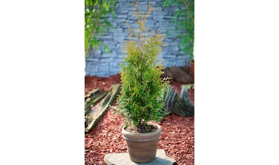 Hecke »Lebensbaum Brabant«, Höhe: 15 cm, 100 Pflanzen kaufen