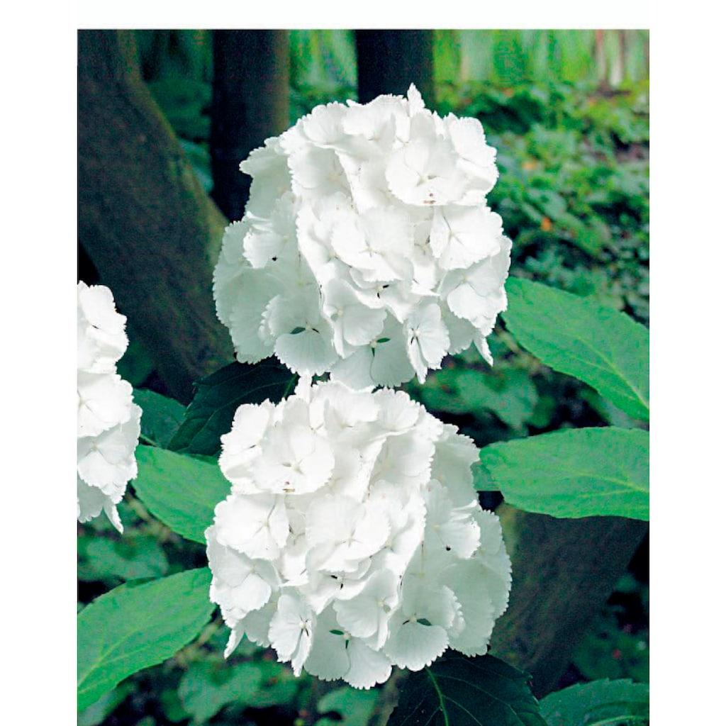 BCM Gehölze »Hortensie Music Collection Reggae White«, Höhe: 30-40 cm, 1 Pflanze