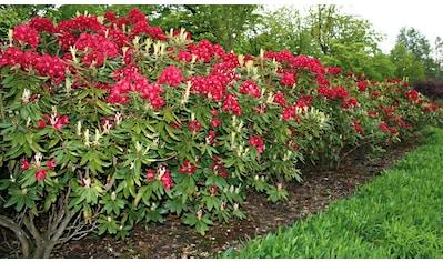 BCM Gehölze »Rhododendron Nova Zembla« kaufen