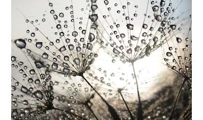Papermoon Fototapete »Dandelion Seeds Drops« kaufen