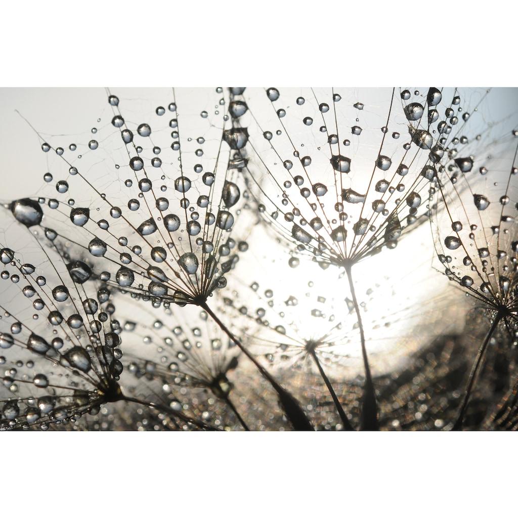 Papermoon Fototapete »Dandelion Seeds Drops«