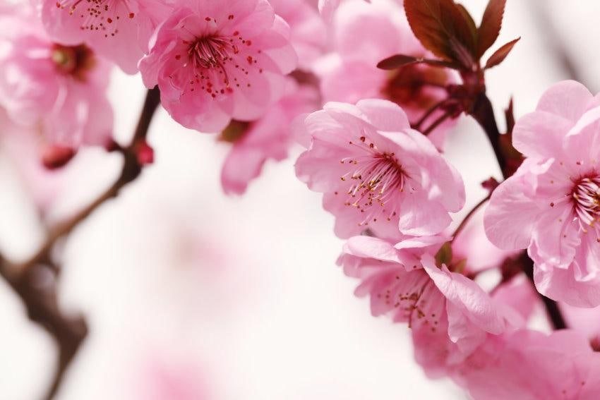 Fototapete Peach Blossom Home affaire Wohnen/Wohntextilien/Tapeten/Fototapeten/Fototapeten Blumen
