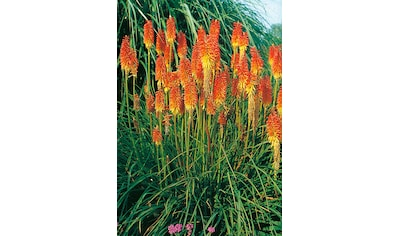 Fackellilie (3 Pfl.) kaufen