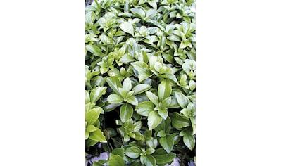 Bodendecker »Schattengrün« kaufen