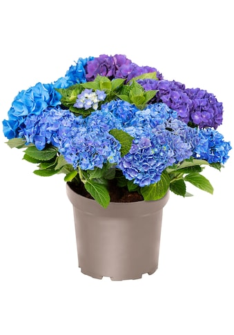 BCM Gehölze »Hortensie Three Sisters Blue, Violett, White«, Höhe: 30-40 cm, 1 Pflanze kaufen