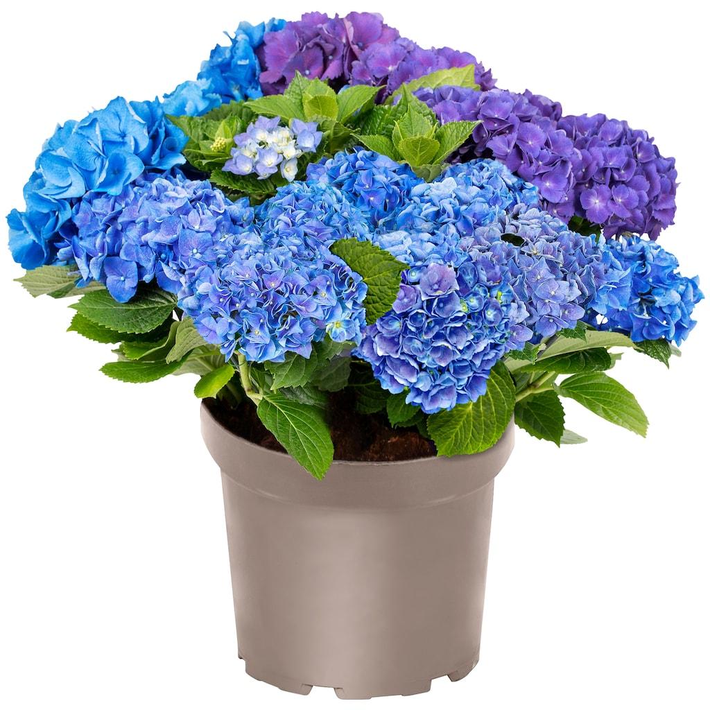 BCM Gehölze »Hortensie Three Sisters Blue, Violett, White«, Höhe: 30-40 cm, 1 Pflanze