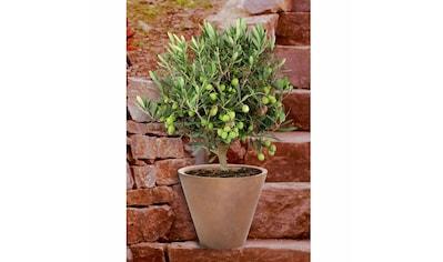 BCM Olivenbaum kaufen