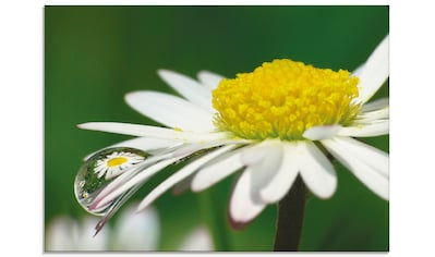 Artland Glasbild »Gänseblümchen mit Wassertropfen«, Blumen, (1 St.) kaufen
