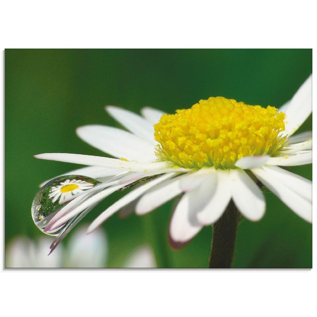 Artland Glasbild »Gänseblümchen mit Wassertropfen«, Blumen, (1 St.)