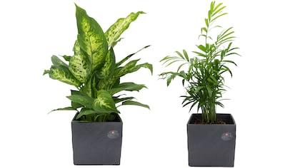 Dominik Zimmerpflanze »Palmen-Set«, Höhe: 30 cm, 2 Pflanzen in Dekotöpfen kaufen