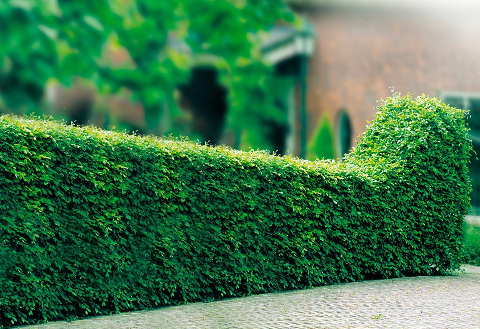 BCM Hecken Rotbuche grün Heckenpflanzen Pflanzen Garten Balkon
