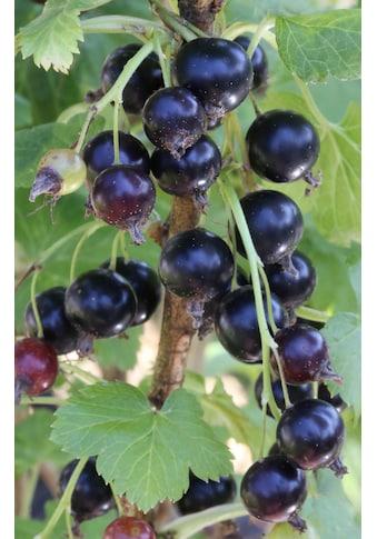 BCM Obstpflanze »Ribes nidigrolaria Jostabeere«, (Spar-Set), Lieferhöhe: ca. 15 cm, 3... kaufen