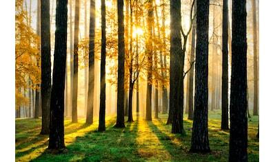 PAPERMOON Fototapete »Sunny Forest«, Vlies, 5 Bahnen, 250 x 180 cm kaufen