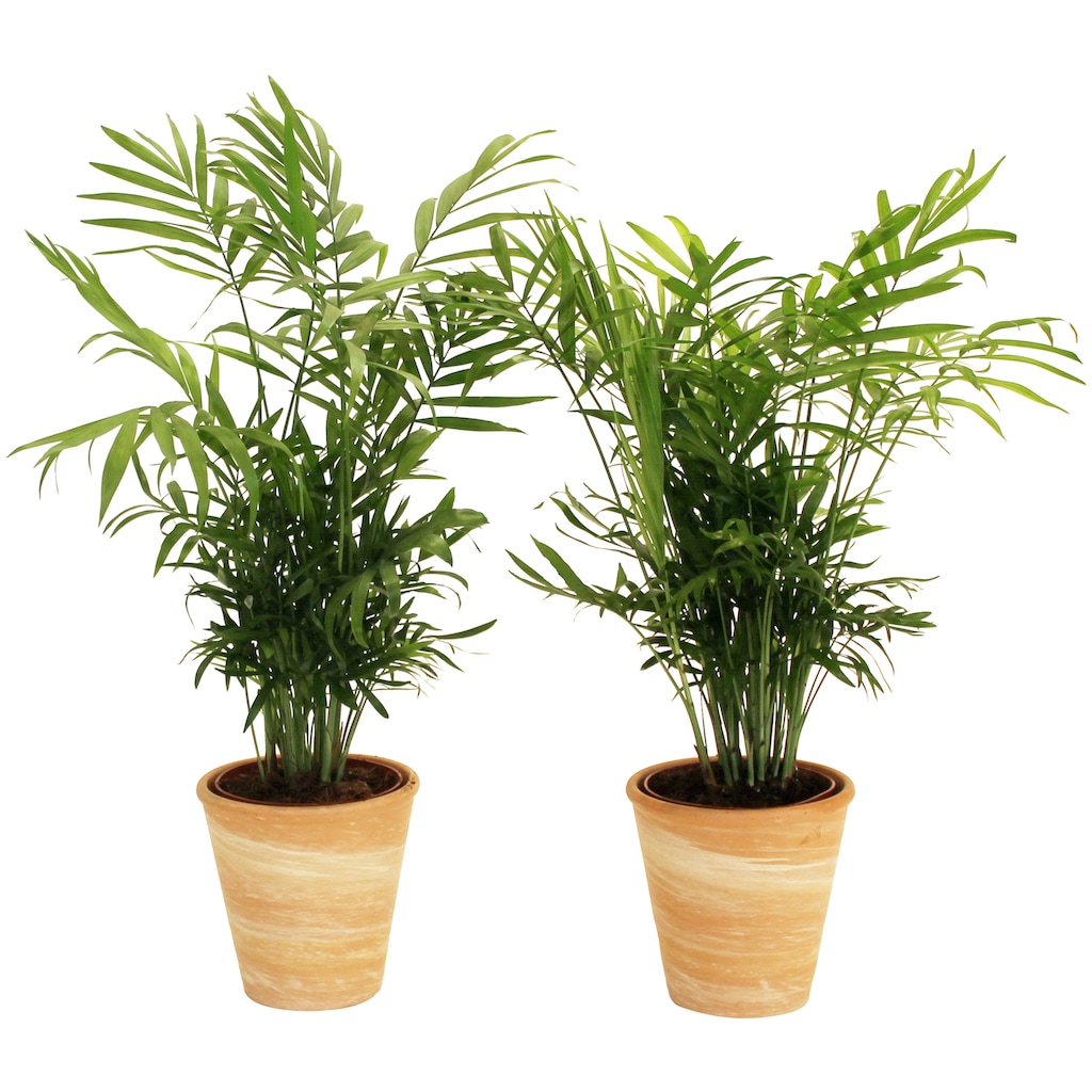 Dominik Zimmerpflanze »Palmen-Set«, Höhe: 30 cm, 2 Pflanzen in Dekotöpfen
