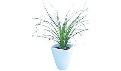 Dominik Zimmerpflanze »Elefantenfuß«, Höhe: 30 cm, 1 Pflanze im Dekotopf kaufen