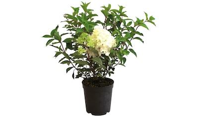 BCM Gehölze »Rispen-Hortensie Phantom® XXL« kaufen