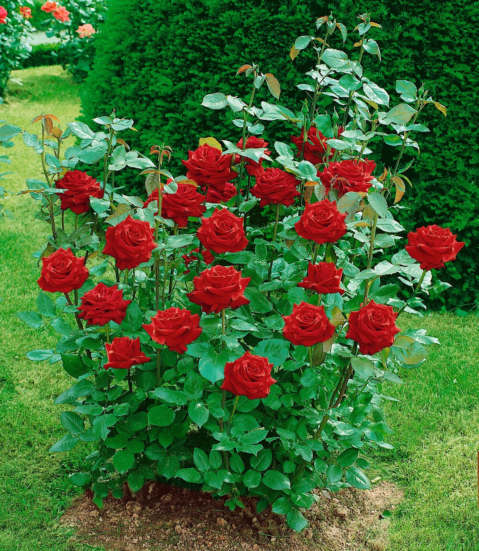 BCM Beetpflanze Edelrose Ingrid Bergmann rot Beetpflanzen Pflanzen Garten Balkon